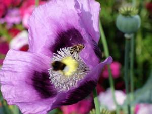 Biene auf lila Mohnblume c) Wolfgang Schulz, BZV Roßdorf