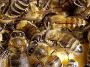 Bienen c) Helga Wilkendorf
