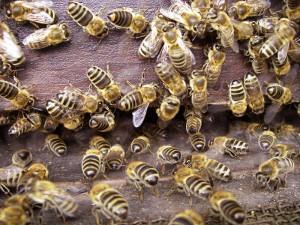 Bienen c) IV Modau-Fischbachtal