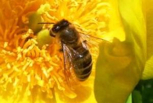 HonigbieneAufGelberBluete c) IV Weiterstadt