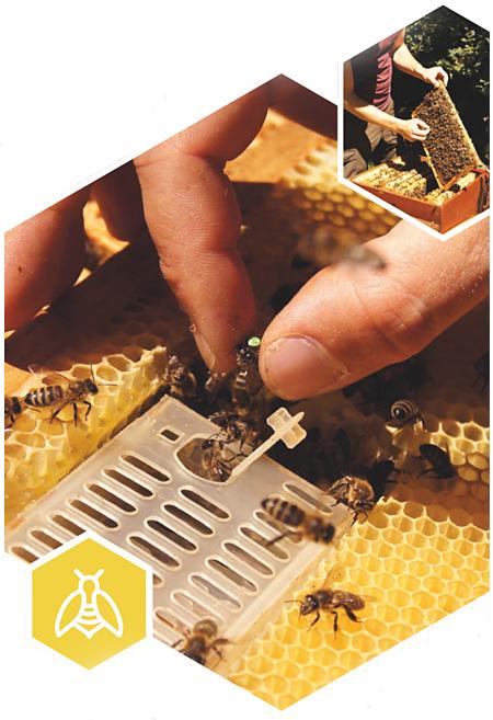 Varroabehandlung mit künstlicher Brutunterbrechung