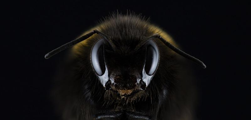Biene, Großaufnahme  c) Pixabay, freie Nutzung ohne Bildnachweis
